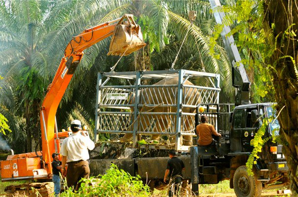Wildlife Translocation (Sabah - Malaysia)